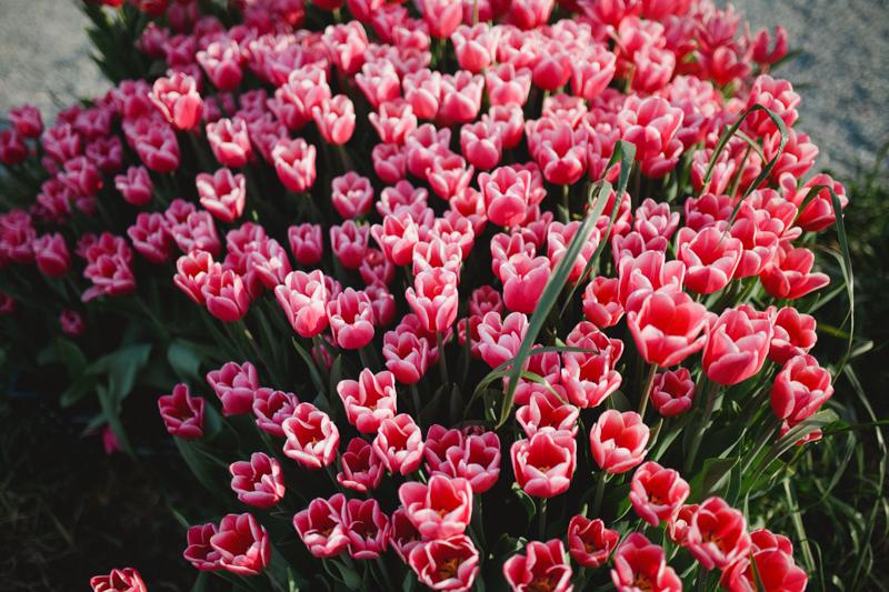 Tulip Festival-2
